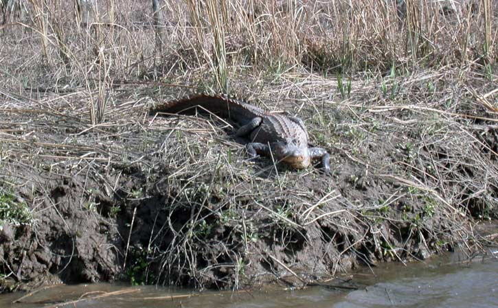 Savannah National Wildlife Refuge - alligator - Savannah Port Journal